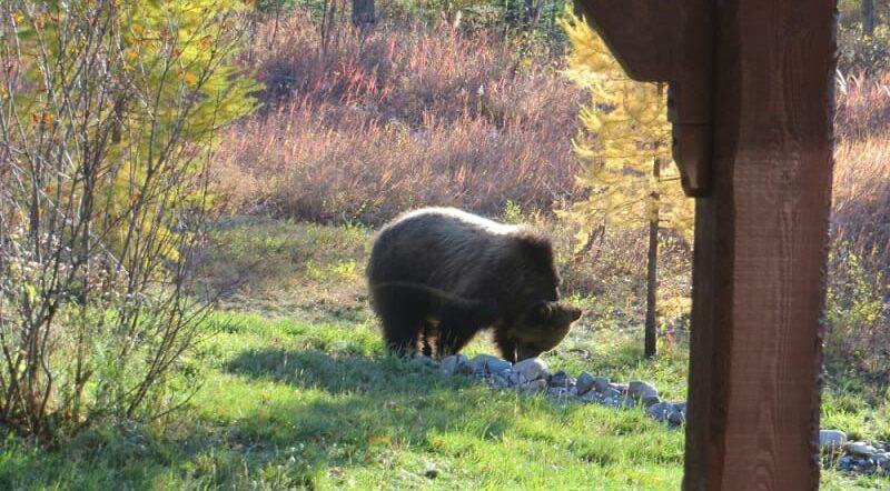 An Acronym? Managing Grizzlies., Bear Creek Guest Ranch